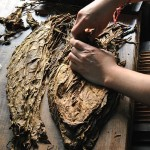 Foglie di tabacco essiccato