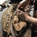 foglie di tabacco essiccate